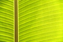 texture of banana leaf - stock photo