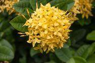 Yellow ixoras flower Stock Photos