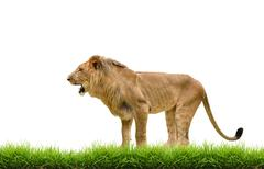 Stock Photo of male lion with green grass isolated