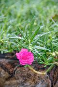 flowering purslane flower - stock photo