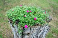 Flowering purslane flower Stock Photos