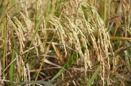 Spike rice Stock Photos