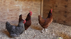 Chickens in a Coop at the Farm - stock footage