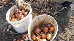 Collected onions in a bucket after harvest - stock footage