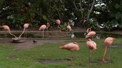 Cartagena flamingos Stock Footage