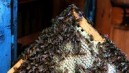 Stock Video Footage of Bees in the hive frame