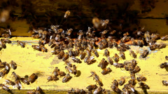 Swarm of of bees - stock footage
