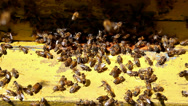 Stock Video Footage of Swarm of of bees