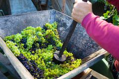 Squeezing grapes - stock photo