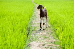 Baby goat at rice field. South India - stock photo