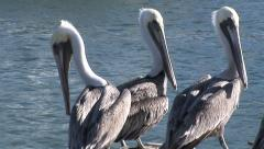 Three Amigos- Three Pelicans hang out at ocean Stock Footage