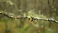 Stock Video Footage of lichen on twig