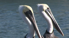 Love among the pelicans- two Pelican heads Stock Footage