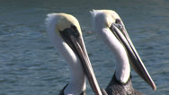 Stock Video Footage of Love among the pelicans- two Pelican heads