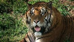 Tiger close up watching Stock Footage