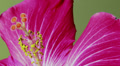 Timelapse: Hibiscus flower macro close-up Footage