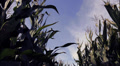 Timelapse: Cornfield and sky Footage