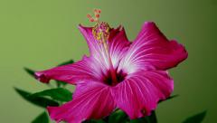 Timelapse: Hibiscus flower opens and closes Stock Footage