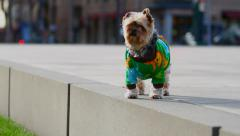 Yorkie In City Stock Footage