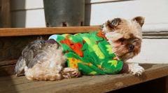 Yorkie Sun Bathing Stock Footage