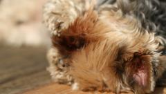 Yorkie Sun Bathing Closeup Stock Footage