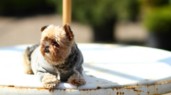 Yorkie On Table Relaxing Stock Footage