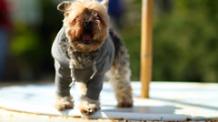 Yorkie On Table Yawning - stock footage
