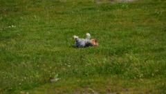 Yorkie Rolling - stock footage