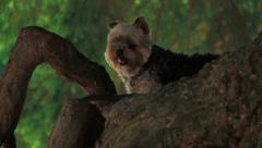 Yorkie In Tree Stock Footage