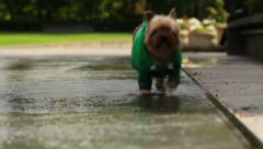 Yorkie In Fountain Stock Footage