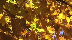 Foliage, yellow autumn leavesin the tree, fall season, landscape, background - stock footage