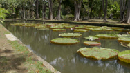 Stock Video Footage of Giant Water Lillies