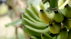 Bananas on Tree Stock Footage