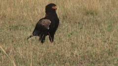 Batellour eagle on the ground Stock Footage