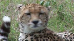 Cheetah yawning Stock Footage