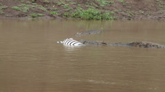 Dead wildebeest floats next to crocodiles eating a zebra Stock Footage