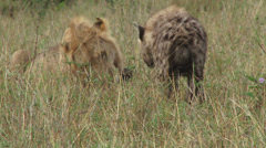 Hyena snatches a piece of meat from a lion 1 Stock Footage