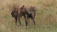 Hyenas engage in ritualised greetings Stock Footage