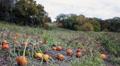 Pumpkin patch next to a cornfield HD Footage