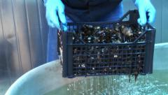 Washing mussels clean Stock Footage