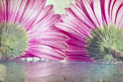 closeup on pink gerbera daisy flower - stock photo