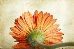 Vintage photo of gerbera daisy flower Stock Photos