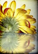 gerbera daisy flower - stock photo