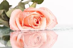 close up on a pink rose - stock photo
