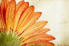 Gerbera daisy flower Stock Photos