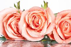 close up on a pink roses - stock photo