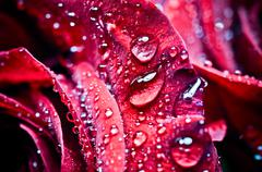 Stock Photo of beautiful rose with drops