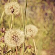 Stock Photo of closeup of dandelion