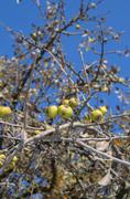 Stock Photo of branch of wild pear