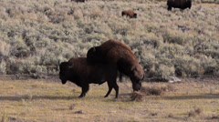 Bison Attempting to Mate in Lamar Valley in Yellowstone National Park Stock Footage